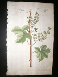 Langley 1729 Folio Hand Col Botanical Print. Stoping Shoots of Vines 34